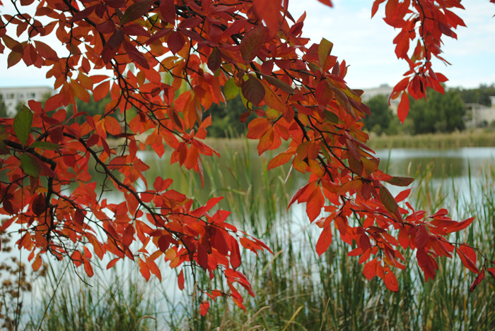 Zilpah tart Red leaves print original photo