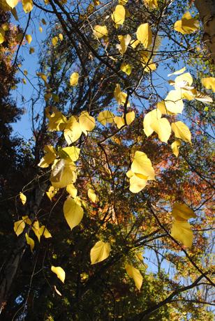 Zilpah tart yellow leaves print original photo