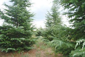 Himayalan Cedar Forest
